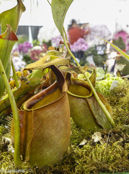 Nepenthes bicalcarata, Sri Aman