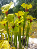 Sarracenia flava var. ornata (Bullock Co. Black Veins x Gulf Coast, FL)
