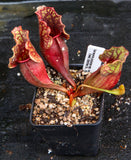 Sarracenia purpurea ssp. venosa, Reedy Creek