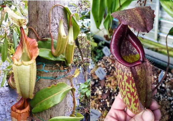 "Nepenthes (tiveyi x veitchii) x Rokko ""EP"", CAR-0033"