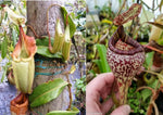 Nepenthes (tiveyi x veitchii) x vogelii  - CAR-0026