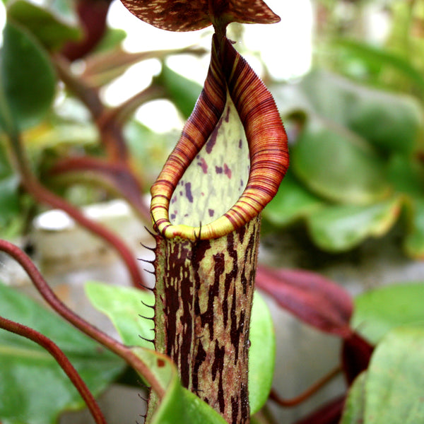 Nepenthes faizaliana, CAR-0123