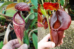 "Nepenthes glandulifera x (spathulata x jacquelineae) ""BE Best"", CAR-0066"