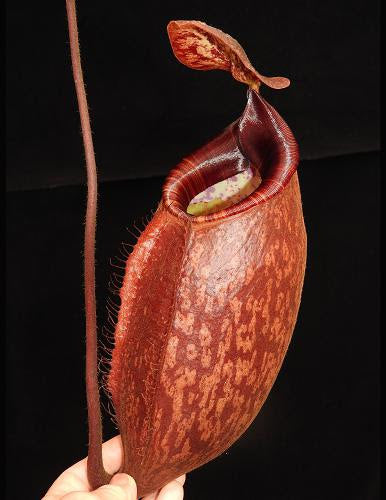 Nepenthes peltata, BE-4025