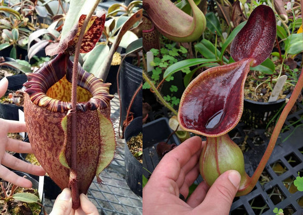 Nepenthes peltata x lowii