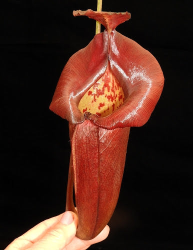 Nepenthes robcantleyi x jacquelineae, BE-4028