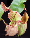 Nepenthes veitchii Bareo, BE-4033