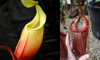 Nepenthes (veitchii x mira) x (burbidgeae x edwardsiana)