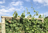 Has the sunny weather been good for the vines?