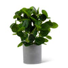 Watercress Foliage in Gray Speckled Pot