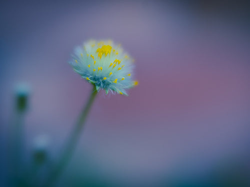 Gorgeous Groundsel - Fine Art Print