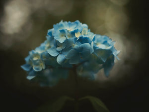blue hydrangea hydrangeas bokeh background blue flowers plant