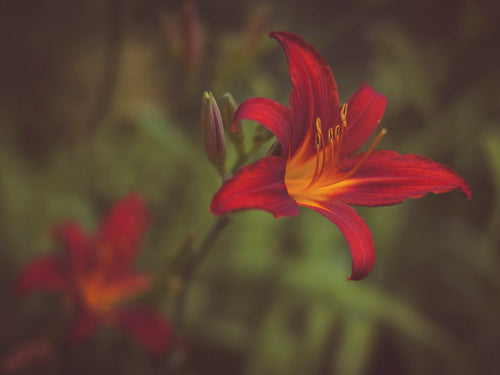 Red lily fine art print taken in England by Charlie Budd The Tall Photographer