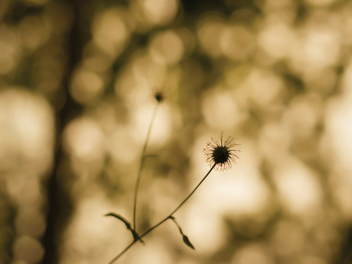 colewort seed head wood avens herb bennet against bokeh of woodland leaves warwickshire oversleep woods by charlie budd the tall photographer