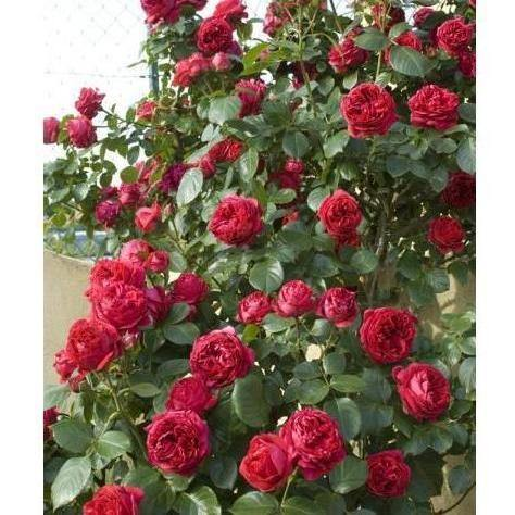 Trandafir urcator (catarator) : ERIC TABARLY (RED EDEN ROSE) : Meilland Richardier : Franta-FamousRoses.eu
