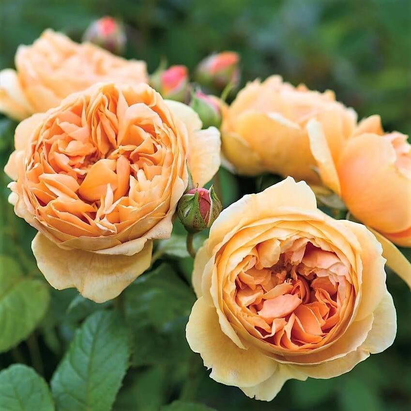 CAROLYN KNIGHT<br> trandafir floribunda - in ghiveci