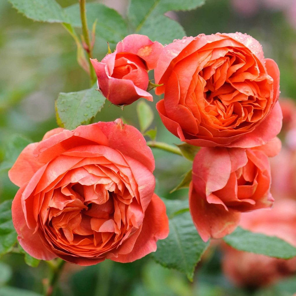 SUMMER SONG<br> trandafir floribunda - in ghiveci