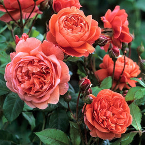SUMMER SONG <br> - trandafir floribunda -