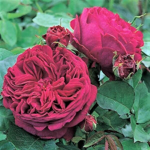 WILLIAM SHAKESPEARE 2000 : Trandafir floribunda (flori grupate) : Producator David Austin : Anglia
