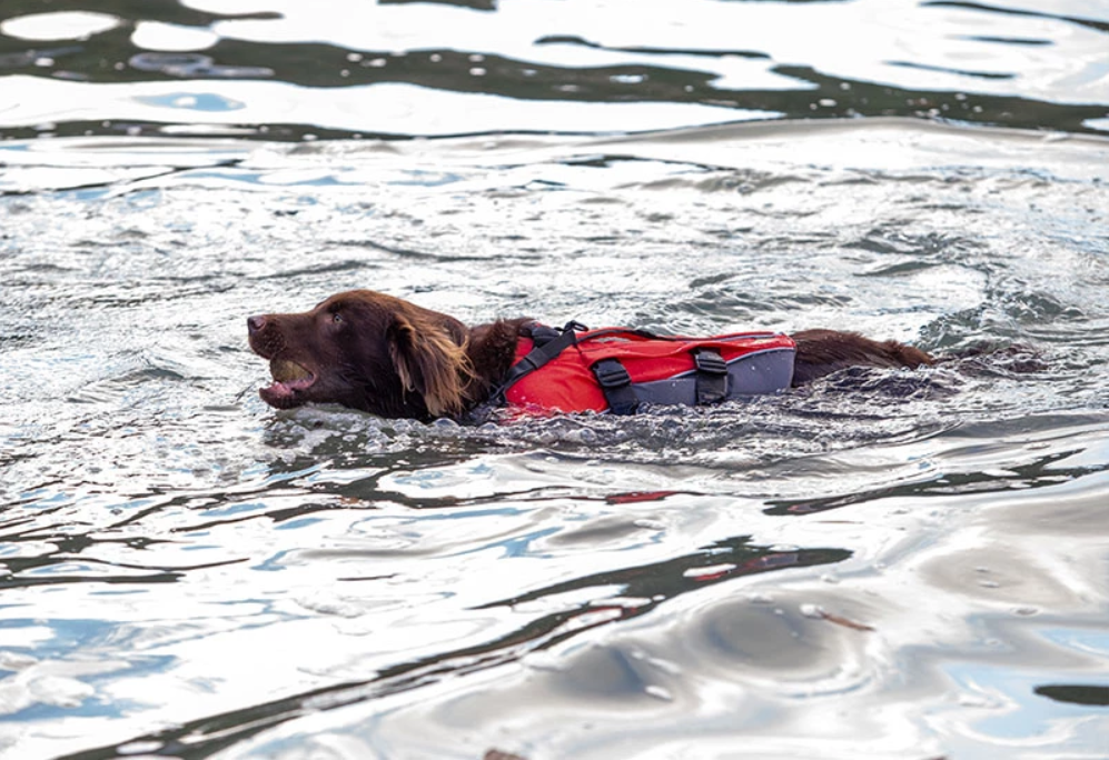 Dog wearing a buoyancy aid swimming