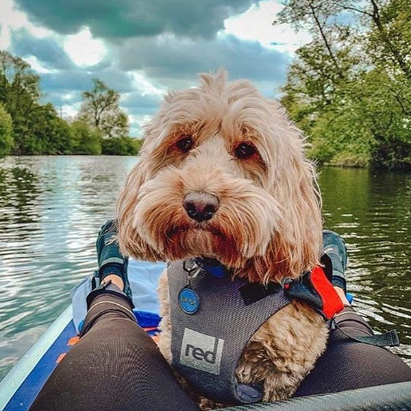 Small dog wearing a dog buoyancy aid on a paddle board