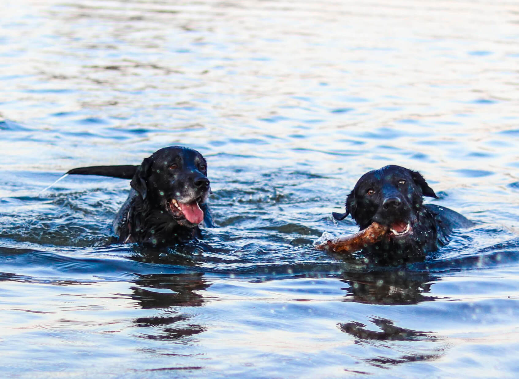 2 Dogs Swimming