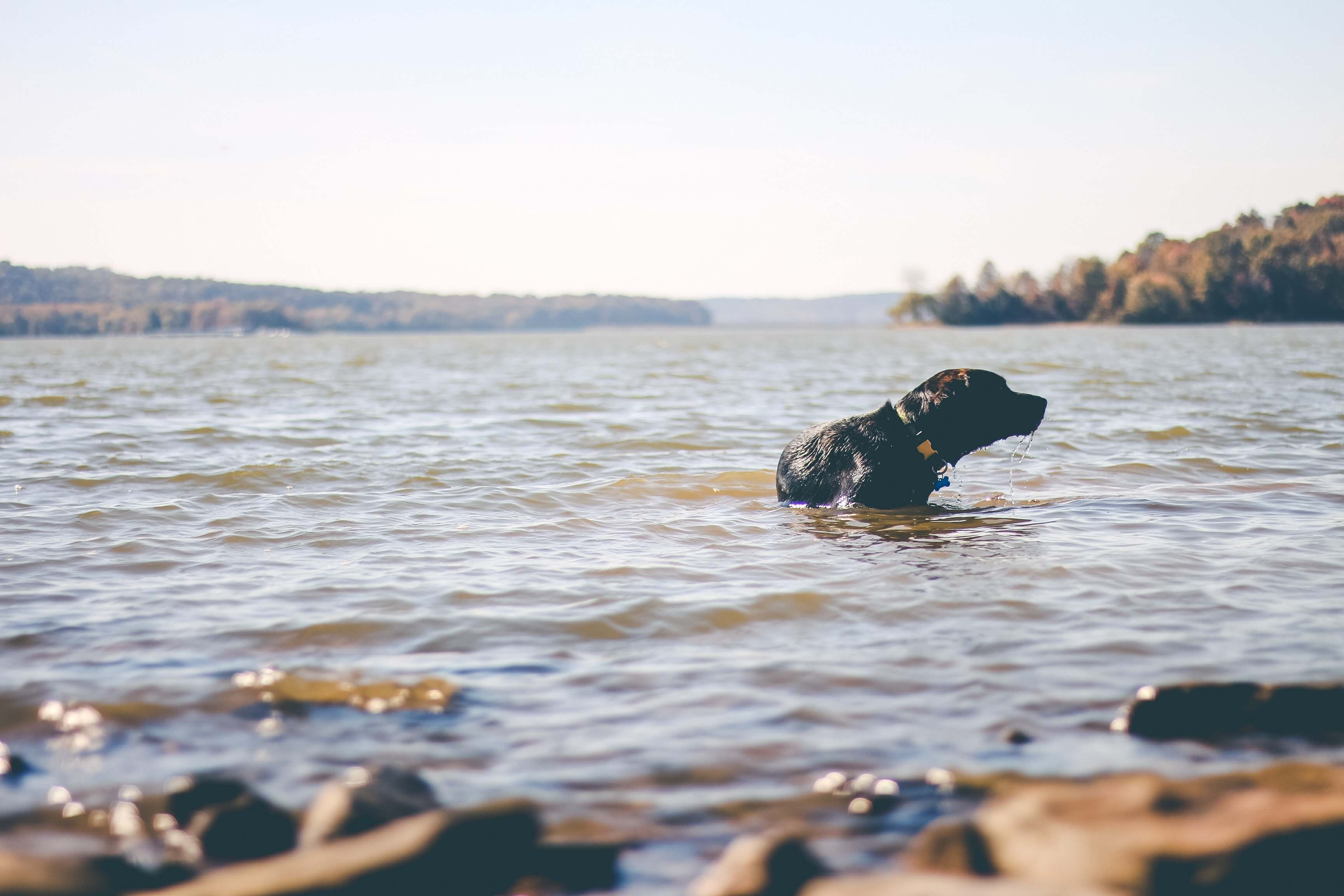 A Black Dog Getting Out Of The Water