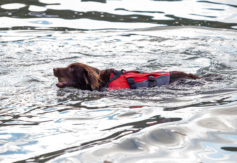 A dog swimming wearing the Red Original Dog Buoyancy Aid