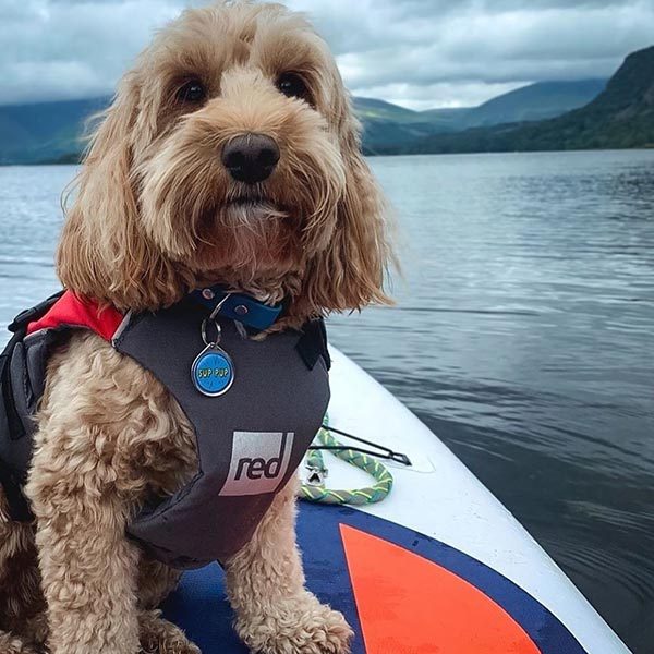 Close up of Reggie the Cockapoo On A Paddle Board