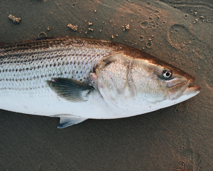 FIELD GUIDE: THE STRIPED BASS