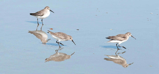 Sandpipers IV