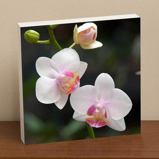 White Moth Orchid I