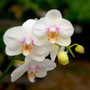 White Moth Orchid II