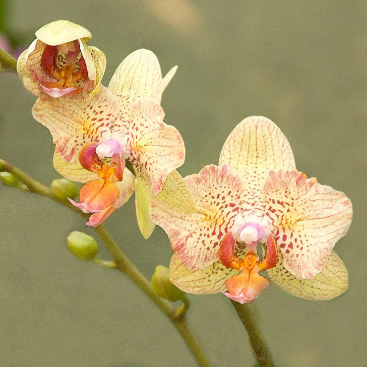 Yellow Moth Orchid I