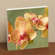 Yellow Moth Orchid II