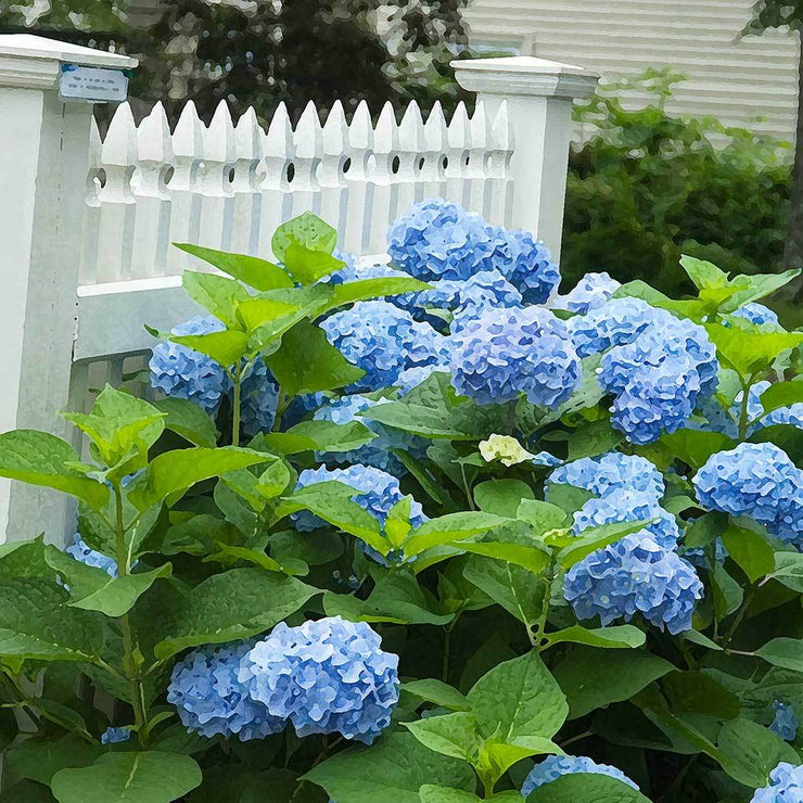 Hydrangea Along the Fence