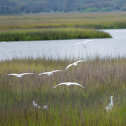 Marsh Egrets in Flight
