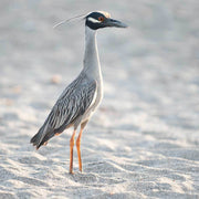 Black-crested Night Heron