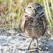 Burrowing Owl I