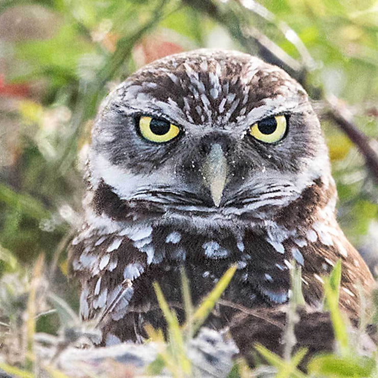 Burrowing Owl II