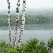 Lakeside Birches