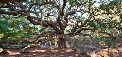 Charleston's Angel Oak the well known 400 year old southern oak with curving  brown branches reaching out to  all edges of the frame drawing  in the viewer.