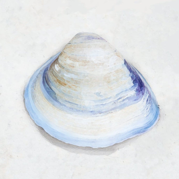 White Clam Shell