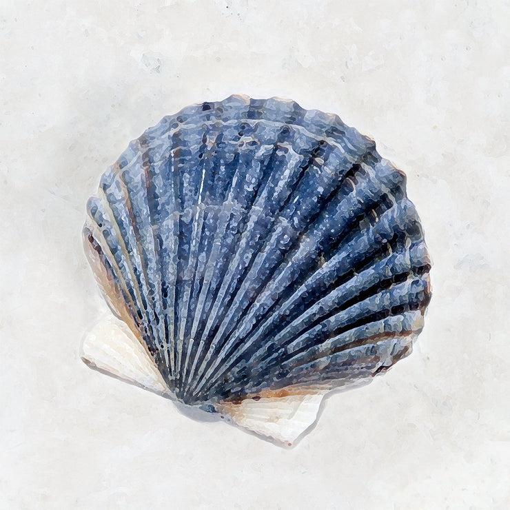 Blue Scallop Shell