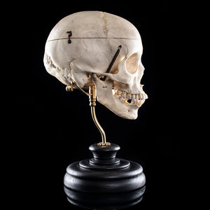 Human skull from a real human skeleton