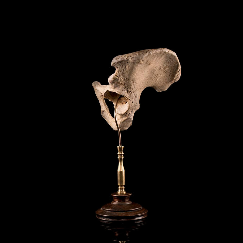 Authentic antique human pelvic bone from a real human skeleton on bespoke base Human Bone Decorus Macabre - Decorus Macabre