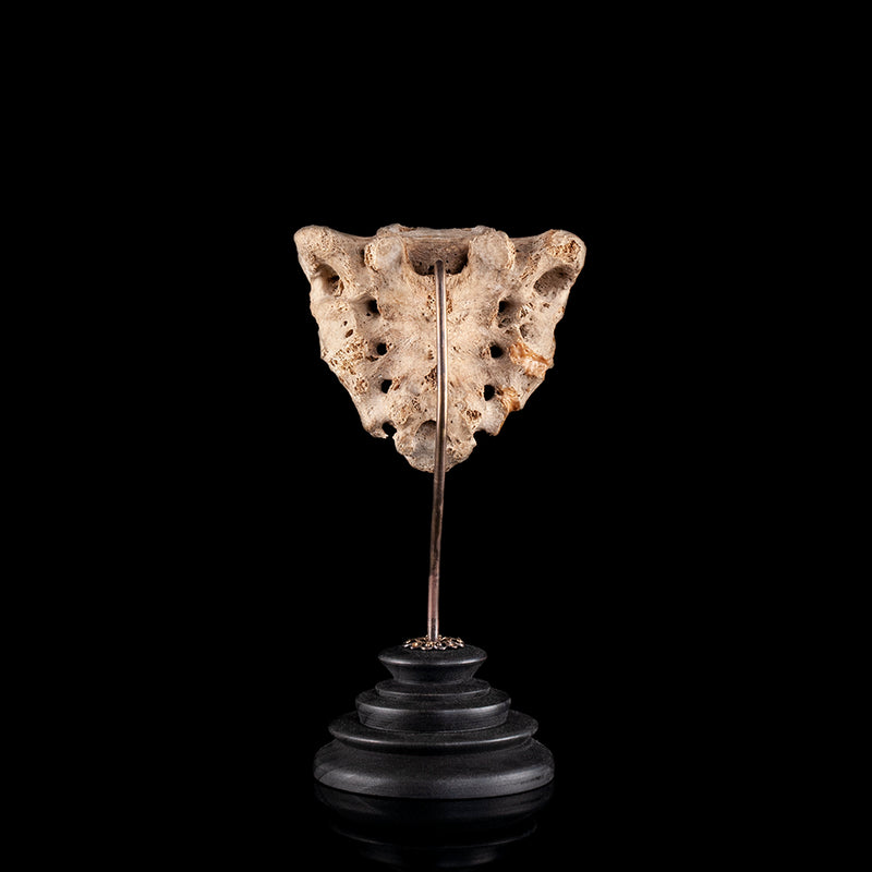 Human sacrum on custom made mount