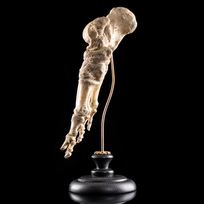 Real human skeleton foot (right)