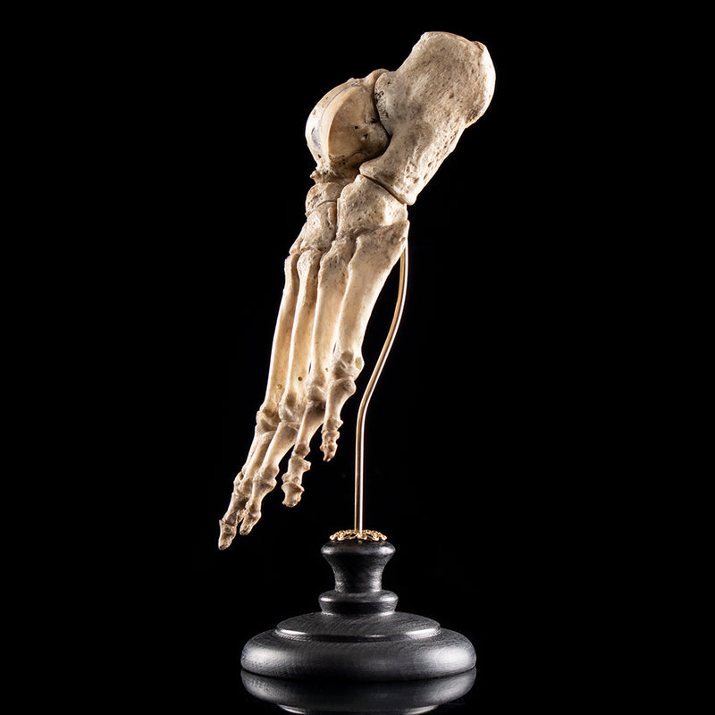 Real human skeleton foot (Left)