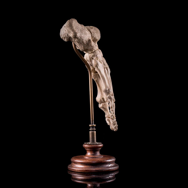 Authentic human skeleton foot on bespoke base Human Bone Decorus Macabre - Decorus Macabre